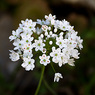 Allium_neapolitanum_1a_Joe_H.jpg